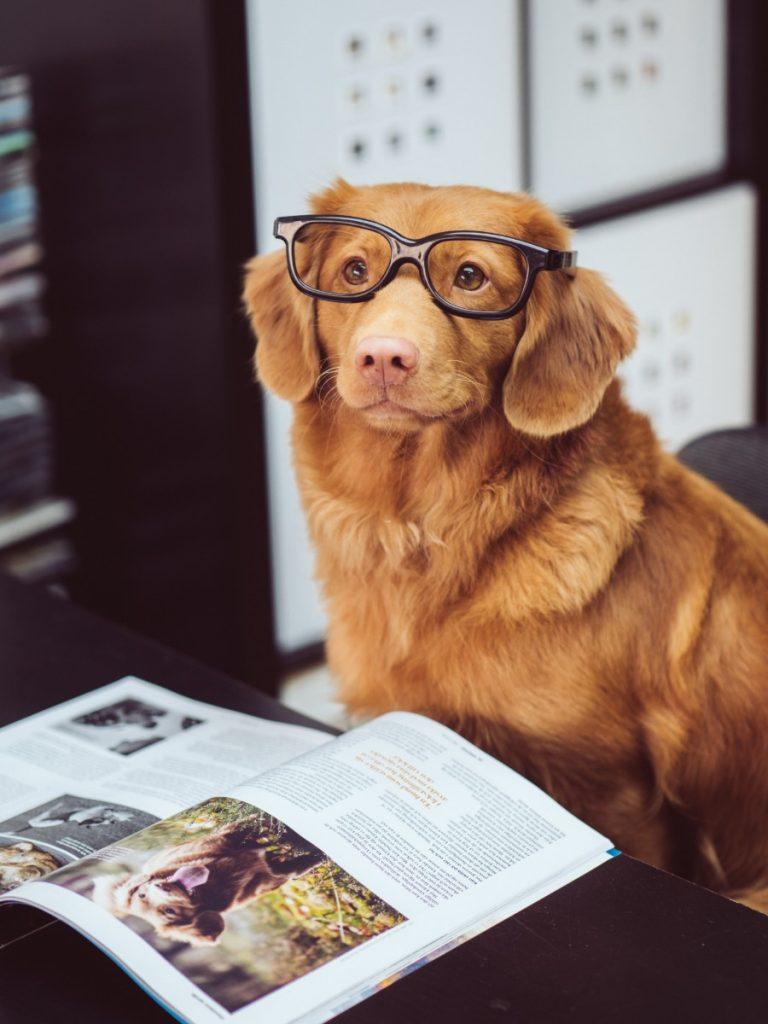 perro golden retriever con anteojos