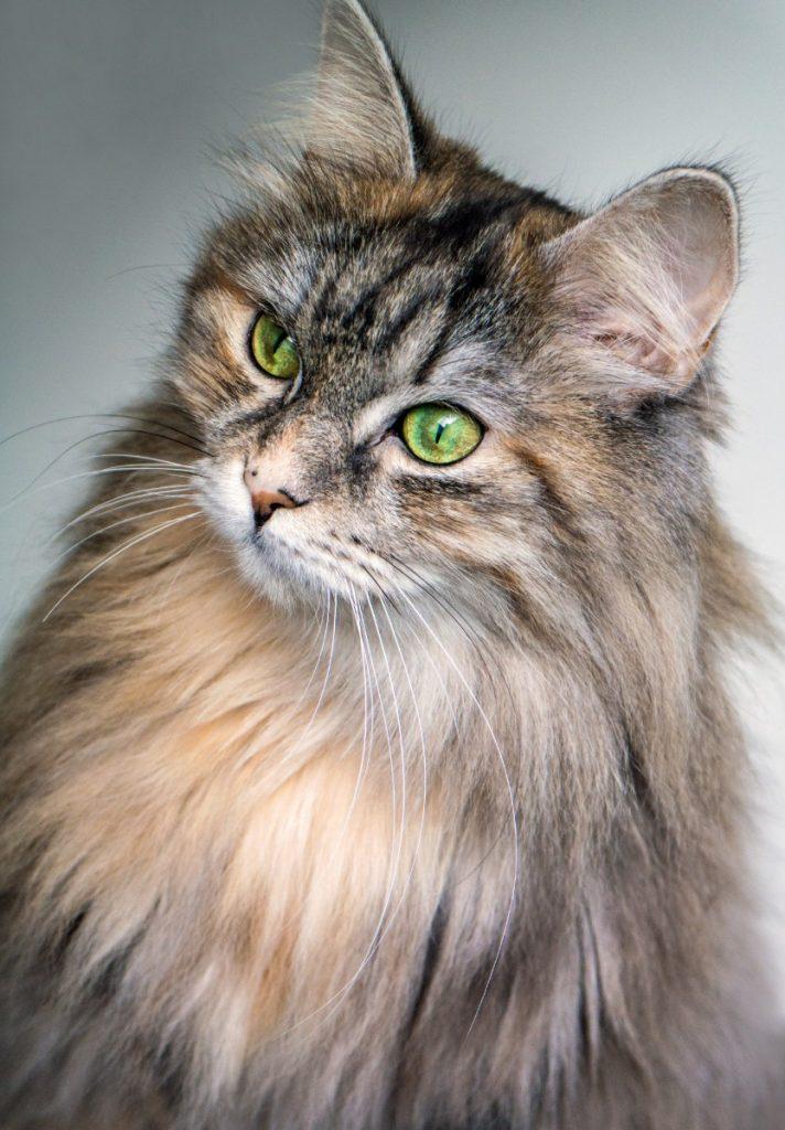 gato de pelo largo y ojos verdes